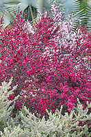 Red, magenta flowering drought tolerant shrub Leptospermum scoparium, New Zealand Tea Tree, in Southern California garden