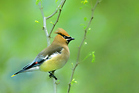 592510002 a wid adult cedar waxwing songbird bombycilla cedronum perches in a flowering plant on south padre island along the texas gulf coast