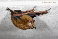 0411-1006  Little Brown Bat (syn. Little Brown Myotis), Myotis lucifugus  © David Kuhn/Dwight Kuhn Photography.
