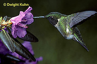 HU01-014z  Ruby-throated Hummingbird - drinking nectar from rhododendron flower as it hovers in air -  Archilochus colubris