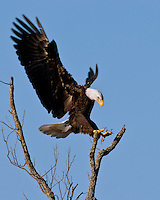 Bald Eagle landing at the Llano, Texas Bald Eagle Nest.  January 30, 2006.