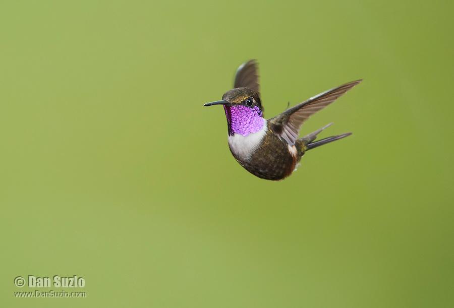 Male purple-throated woodstar, Calliphlox mitchellii. Tandayapa Valley, Ecuador
