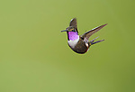 Male purple-throated woodstar, Calliphlox mitchellii. Tandayapa Valley, Ecuador
