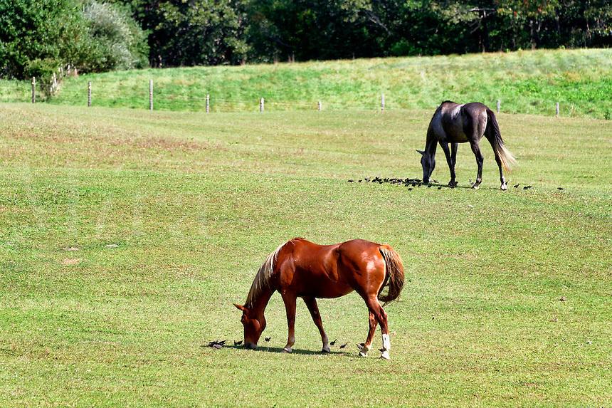 Horses grazing, Tisbury, Martha's Vineyard, Massachusetts, USA