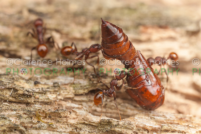 Spine-waisted Ant (Aphaenogaster tennesseensis) workers carry the remains of a moth pupa back to their nest from a foraging trip on a fallen dead tree trunk.