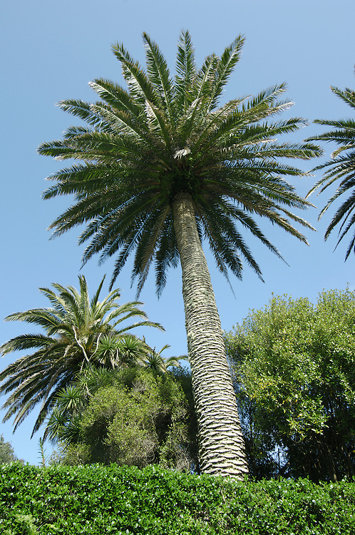 Canary Palm Phoenix canariensis Height to 25m. Typical palm, native to Canary Islands but widely planted elsewhere in areas with a Mediterranean climate. Leaves are pinnate and 4-5m long, with up to 100 leaflets. Flowers are produced in sprays and fruits are  oval, yellowish drupes containing a single, large seed.
