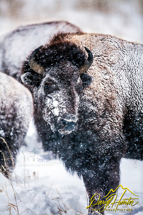 A a snow covered bison looks like abject misery, but the aren't.  Bison have a fun coat like no other, attached to a hide that can be one inch thinks.  The appearance of abject misery though is what makes snowy and icy bison so compelling