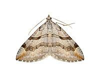 70.193 (1868)<br /> Lesser Treble-bar - Aplocera efformata