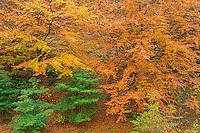 ORPTH_120 - USA, Oregon, Portland, Hoyt Arboretum, Autumn color of American beech trees (Fagus grandifolia).