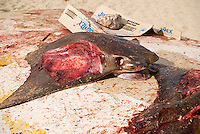 Dead Bat Ray (Myliobatis Californica), caught in the Sea of Cortez, with Fillets cut from wings sits on top of overturned fishing boat, San Felipe, Baja California, Mexico
