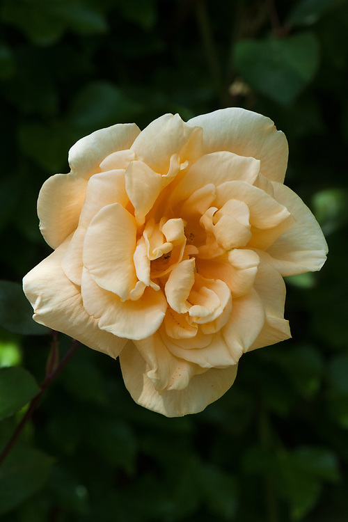 Rosa 'Lady Hillingdon', mid June. A large climbing rose with scented, apricot-yellow double flowers. Introduced in 1917.