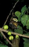 Fruit Bat, feeding on fig tree fruit, West Africa.Gambia....