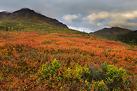 Dwarf birch in autumn colors, Cathedral mountains, Denali National Park, Interior, Alaska.