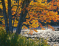 Hancock County, ME: Afternoon sun on fall colored maple branches hanging above Ames Pond near Stonington, Deer Island