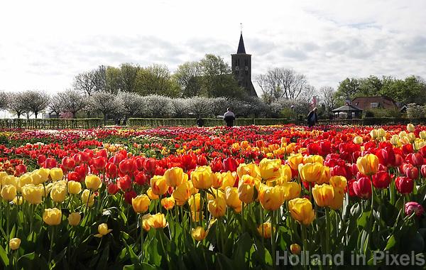 Nederland Limmen 2018.  Niet alleen in Keukenhof zijn bijzondere tulpen te zien. In Noord-Holland ligt de Hortus Bulborum. In de tuin staan meer dan 4000 soorten bloemen. De hortus, waarin voornamelijk tulpen en narcissen staan, is in 1928 opgericht. De Hortus Bulborum is een proeftuin, waar nieuwe soorten worden gekweekt.  Op de achtergrond de Protestantse (Hervormde) kerk van Limmen. Foto Berlinda van Dam / Hollandse Hoogte