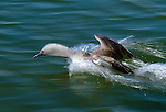 Red-throated loon, Alaska, USA