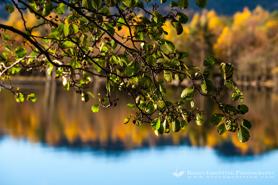 Imsvatnet, Sandnes, Norway. Colourful autumn colours, alder with still green leaves.