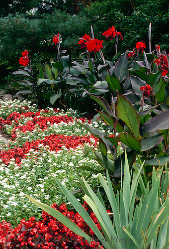 Red and White Fibrous Begonias and Red Cannas, Missouri Aug.