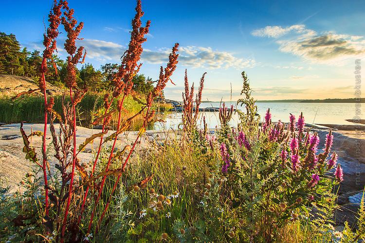 Blommor i Stockholms skärgård. / Flowers in the Stockholm archipelago in Sweden.