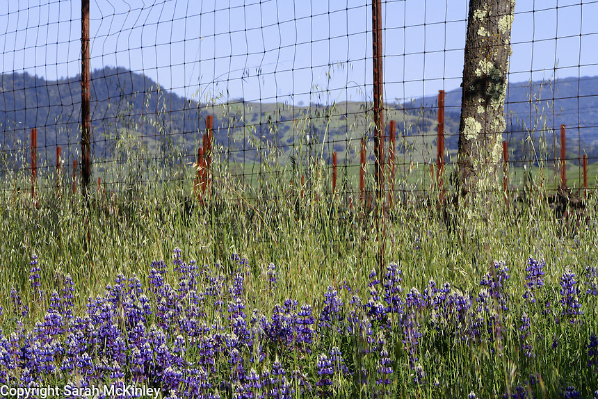 Lupine growing near the fence of a vineyard on Highway 128 between Geyserville and Calistoga in Napa County in Northern California.
