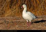 Snow Goose, Bosque del Apache Wildlife Refuge, New Mexico
