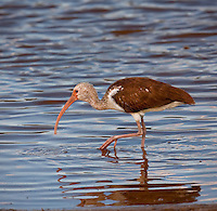Juvenile White Ibis walking in water in golden evening light with one foot up