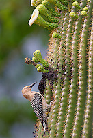 597910024 a wild male gila woodpecker melanerpes uropygialis excavates a cavity nest in a flowering saguaro  cactus  near green valley pima county arizona united states