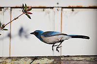 A California Scrub-Jay takes flight from a backyard fence near San Francisco Bay