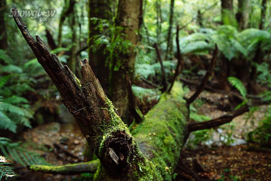 Image Ref: YR171<br /> Location: Wirrawilla Rainforest, Toolangi<br /> Date: 27.01.18