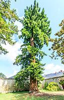 France, Indre-et-Loire (37), Azay-le-Rideau, parc et château d'Azay-le-Rideau au printemps, Sequoia sempervirens