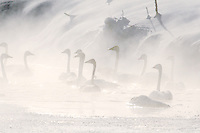 Trumpeter Swans on a frigid morning in Swan Valley Idaho