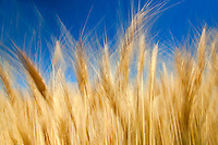 Close up of wheat. The Palouse, Washington
