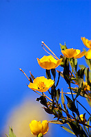 CALIFORNIA TREE POPPY