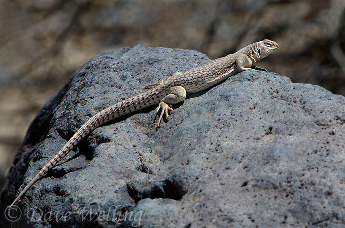 438500007 a wild desert iguana dipsosaurus dorsalis perches on a rock in darwin canyon inyo county california