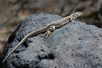 438500007 a wild desert iguana dipsosaurus dorsalis perches on a rock in darwin canyon inyo county california