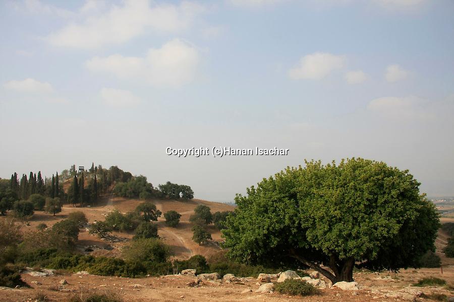 Israel, Jezreel Valley, Carob tree (Ceratonia Siliqua) by Tel Shimron (in the background)