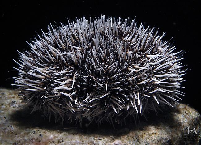 Sea Urchin in Rembrandt light
