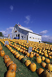 Pumpkins at a farm in Presque Isle, Maine, USA