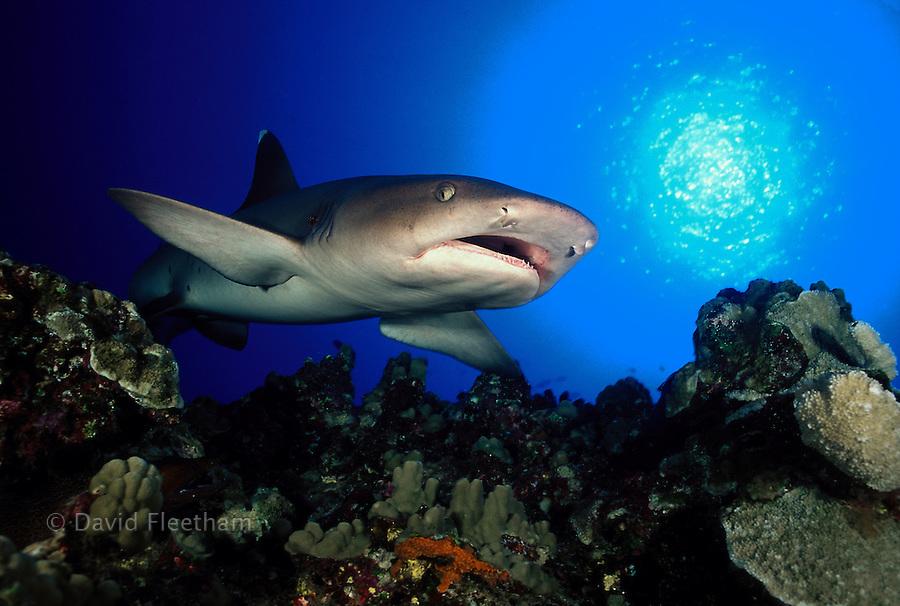 A whitetip reef shark,  Triaenodon obesus, cruising over a Hawaiian reef.