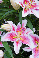 Lilium 'Ambon' Oriental lilies, fragrant summer flowering bulbs