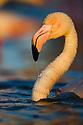 Greater Flamingo (Phoenicopterus roseus) in lagoon, portrait, Pont Du Gau, Camargue, Rhone Delta, France
