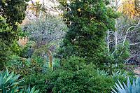 Lyonothamnus floribundus ssp. aspleniifolius - Santa Cruz Island Ironwood tree. - Arlington Garden, Pasadena
