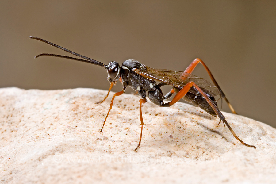 Schlupfwespe, Latibulus argiolus, Endurus argiolus, Schlupfwespen, Ichneumonidae