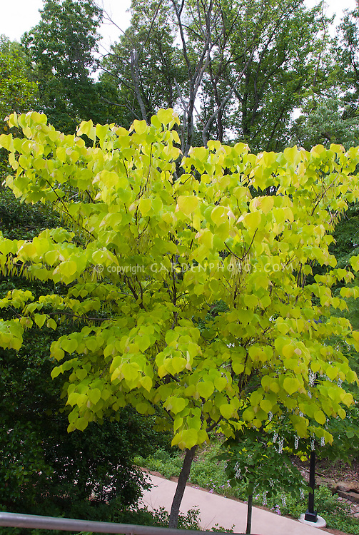 Cercis canadensis  Hearts of Gold in seedpods in May spring, yellow foliage tree