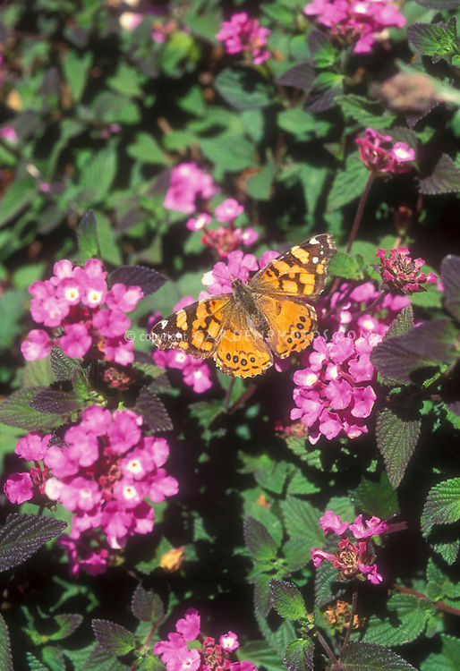 West Coast Lady Butterfly: Vanessa anabella on Lantana montevidensis flowers