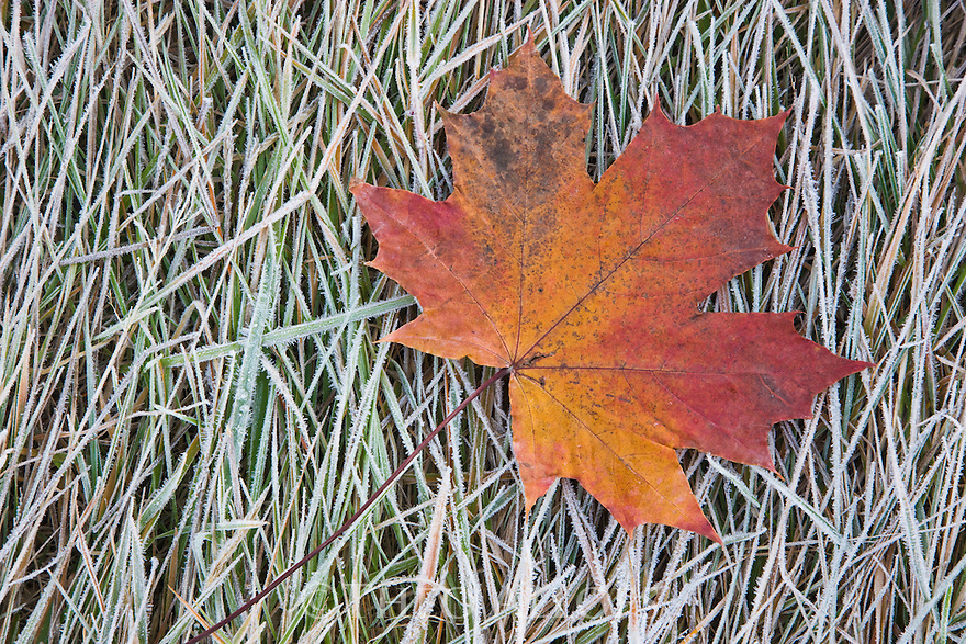 Maple leaf with fall colors lying on frozen grass, South Island, New Zealand