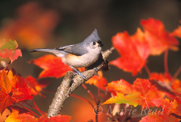Tufted Titmouse (Baeolophus bicolor) amid red maple leaves in autumn, New York State, USA. <br />