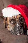 USA, California, La Quinta, Boxer in Santa hat lying on sofa