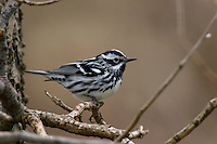 Male Black-and-white Warbler (Mniotiltavaria).  Spring.