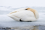 Trumpeter swan resting in winter. National Elk Refuge, Wyoming.